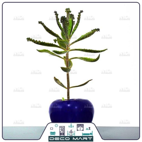 گیاه اشک تمساح | فروشگاه اینترنتی دکو مارت
